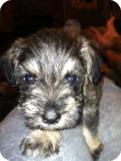 Schnauzer (Miniature) Puppy for adoption in Cranford, New Jersey - Miles