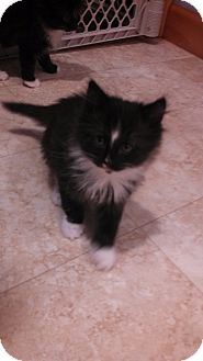 Maine Coon Kitten for adoption in Randolph, New Jersey - Mittens