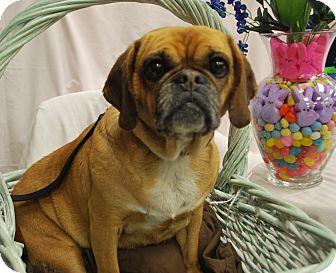 Pug/Beagle Mix Dog for adoption in Ogden, Utah - Roxy Heart