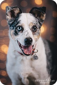 Australian Cattle Dog/Australian Shepherd Mix Dog for adoption in Portland, Oregon - Ginny