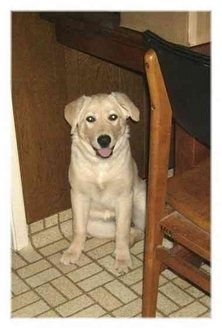 Labrador Retriever Mix Puppy for adoption in Sacramento, California - London & Maari