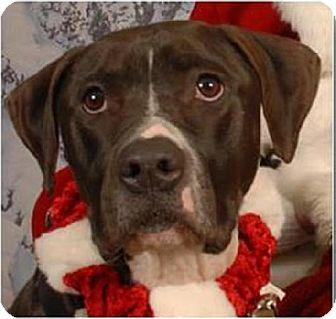 American Staffordshire Terrier/American Bulldog Mix Dog for adoption in Beachwood, Ohio - Moose