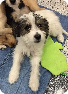 Terrier (Unknown Type, Small) Mix Puppy for adoption in Tucson, Arizona - Elsie