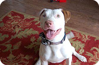 Boxer/Labrador Retriever Mix Dog for adoption in Fishkill, New York - CHANCE