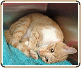 Domestic Shorthair Cat for adoption in Marietta, Georgia - BUBBLES