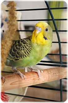 Budgie for adoption in Welland, Ontario - Chopper