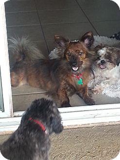 Pomeranian/Yorkie, Yorkshire Terrier Mix Dog for adoption in Eddy, Texas - Kirby
