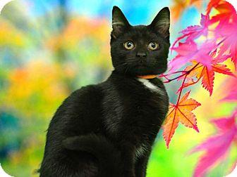 Domestic Shorthair Kitten for adoption in New Castle, Pennsylvania - Kiwi