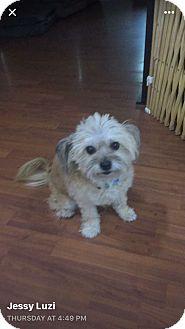 Shih Tzu Mix Dog for adoption in Ft. Lauderdale, Florida - Leia