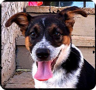 Australian Cattle Dog/Beagle Mix Puppy for adoption in Austin, Texas - Decker