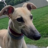 Adopt A Pet :: Jazzy - Swanzey, NH