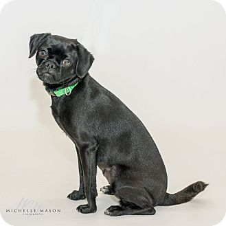 Pug Mix Dog for adoption in Naperville, Illinois - Meso