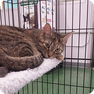 Domestic Shorthair Cat for adoption in Cherry Hill, New Jersey - Feather