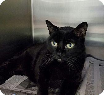 Domestic Shorthair Cat for adoption in Elyria, Ohio - Frankie