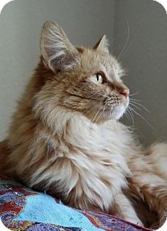 Maine Coon Cat for adoption in Santa Ana, California - Mimolette