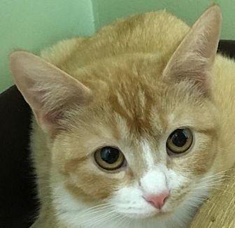 Domestic Shorthair Kitten for adoption in Auburn, California - Cassy