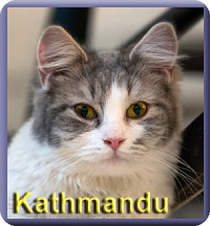 Domestic Mediumhair Kitten for adoption in Aldie, Virginia - Kathmandu