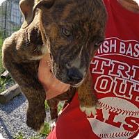 Adopt A Pet :: Little Man - Jamestown, TN