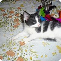 Adopt A Pet :: Penelope Pussycat - Chicago, IL