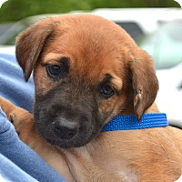 Adopt A Pet :: *Ginger PENDING - Westport, CT