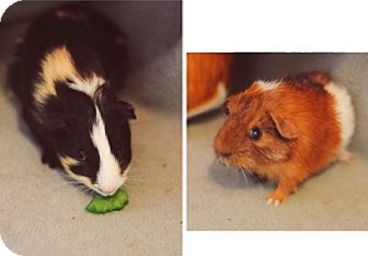 Guinea Pig for adoption in Grand Rapids, Michigan - Reese & Maple