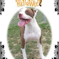 Adopt A Pet :: Ghost - Fallston, MD