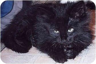 Domestic Longhair Kitten for adoption in Owatonna, Minnesota - Cinderella