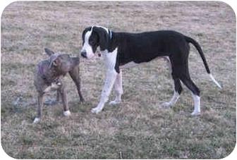 Great Dane Puppy for adoption in Manassas, Virginia - Otis