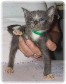 Russian Blue Kitten for adoption in Naples, Florida - Dove