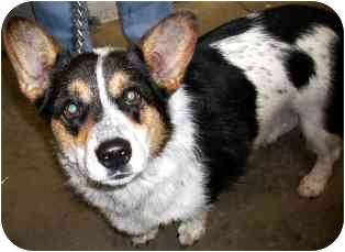 Cardigan Welsh Corgi Mix Dog for adoption in Osseo, Minnesota - Bob