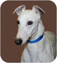 Greyhound Mix Dog for adoption in Ware, Massachusetts - Justice