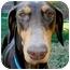 Photo 1 - Doberman Pinscher Dog for adoption in Long Beach, California - Roxy