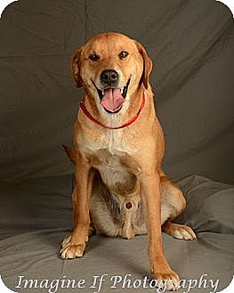 Boxer/Hound (Unknown Type) Mix Dog for adoption in Crescent, Oklahoma - Rocky