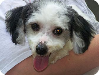Havanese/Bichon Frise Mix Dog for adoption in Antioch, Illinois - Chompers -ADOPTED!