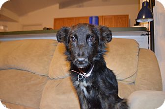Border Collie/Sheltie, Shetland Sheepdog Mix Dog for adoption in Weeki Wachee, Florida - Sugar Plum