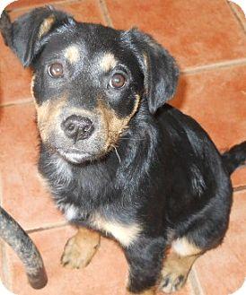 German Shepherd Dog/Australian Cattle Dog Mix Puppy for adoption in dewey, Arizona - Jackie