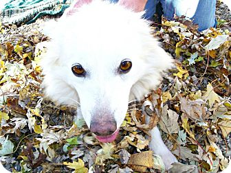 American Eskimo Dog Mix Dog for adoption in Anderson, Indiana - Snowball