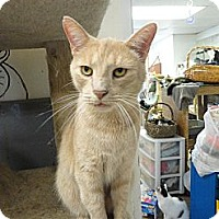 Domestic Shorthair Cat for adoption in MADISON, Ohio - CJ