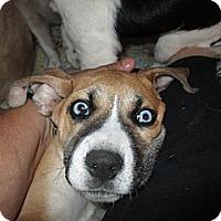 Adopt A Pet :: Santos - Apex, NC