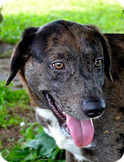 Mountain Cur/Catahoula Leopard Dog Mix Dog for adoption in Manassas, Virginia - Roscoe