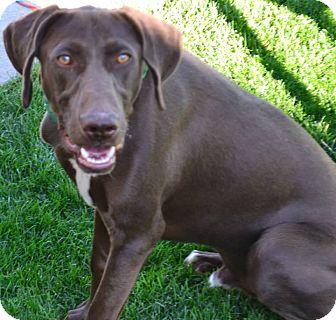 Labrador Retriever/German Shepherd Dog Mix Puppy for adoption in Fruit Heights, Utah - Koda