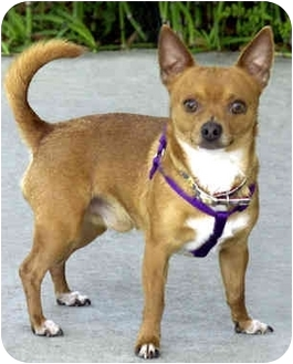 Chihuahua Dog for adoption in Marina del Rey, California - Buster Brown