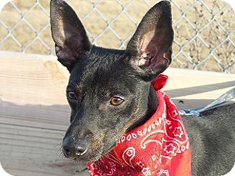 Terrier (Unknown Type, Small)/Miniature Pinscher Mix Dog for adoption in Kingsport, Tennessee - Chip
