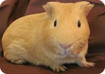 Guinea Pig for adoption in Williston, Florida - Charlie