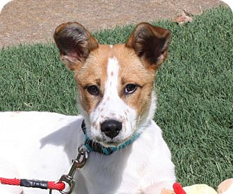 Cattle Dog/Jack Russell Terrier Mix Dog for adoption in Marion, Arkansas - Zoey-PENDING!