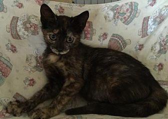 Domestic Shorthair Kitten for adoption in Miami, Florida - Alice