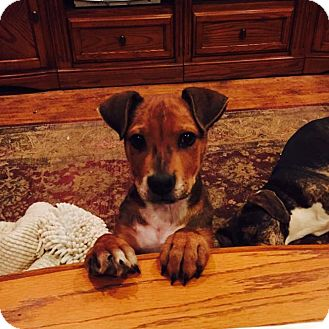 Hound (Unknown Type) Mix Puppy for adoption in Smithtown, New York - Tony