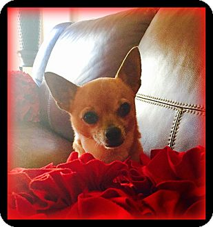Chihuahua Dog for adoption in Indian Trail, North Carolina - Peanut
