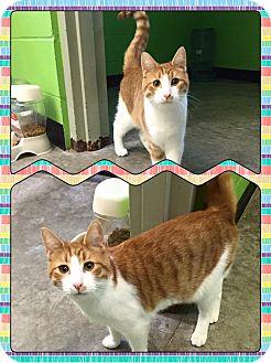 Domestic Shorthair Cat for adoption in Bryan, Ohio - Cash