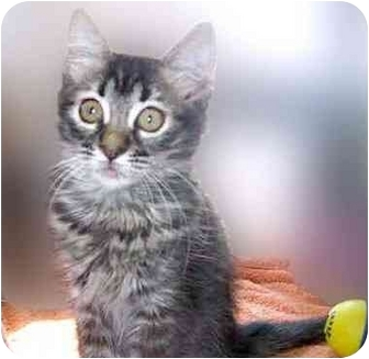 Domestic Mediumhair Kitten for adoption in San Clemente, California - CATAMARAN = Loving Kitten!